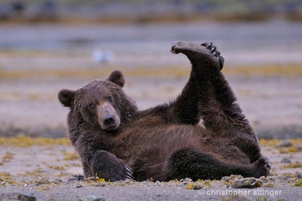 DSC_0056 series #4:  2 yr. brown bear stretching  - ID: 7683760 © Chris Attinger