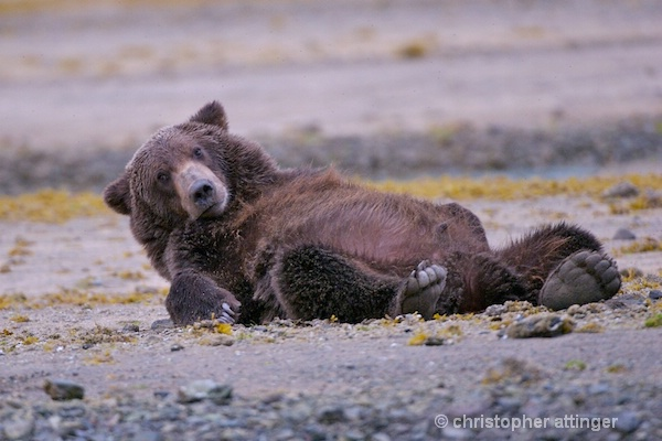 DSC_0038 series #1:  2 yr. brown bear stretching  - ID: 7683761 © Chris Attinger