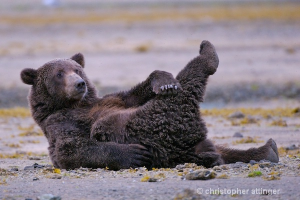 DSC_0040 series #2:  2 yr. brown bear stretching  - ID: 7683762 © Chris Attinger