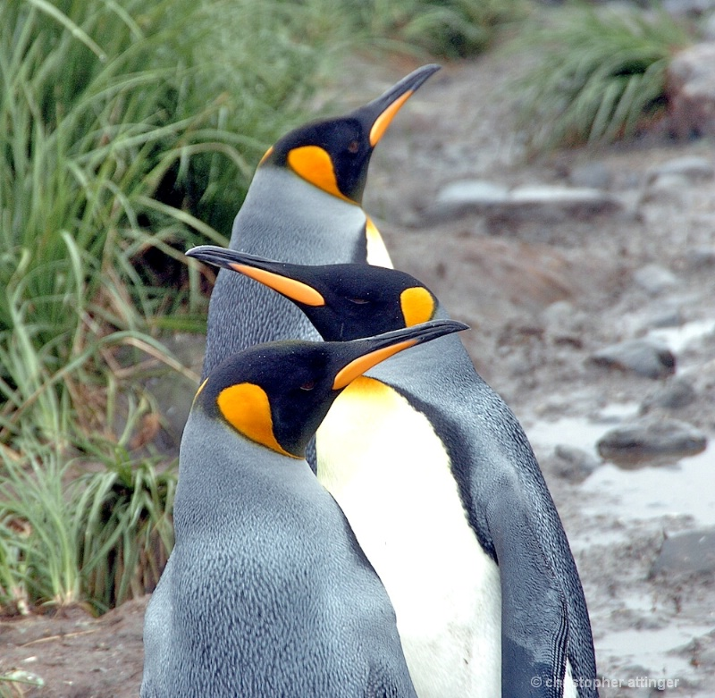 Three king penguins in line - ID: 7685318 © Chris Attinger