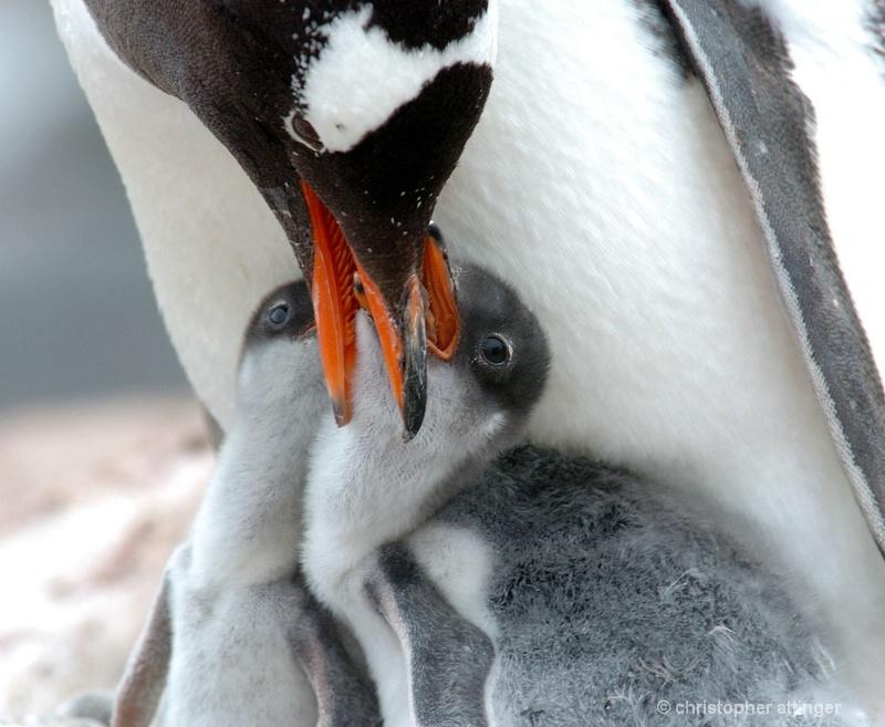 Gentoo mother feeding chicks - ID: 7685326 © Chris Attinger