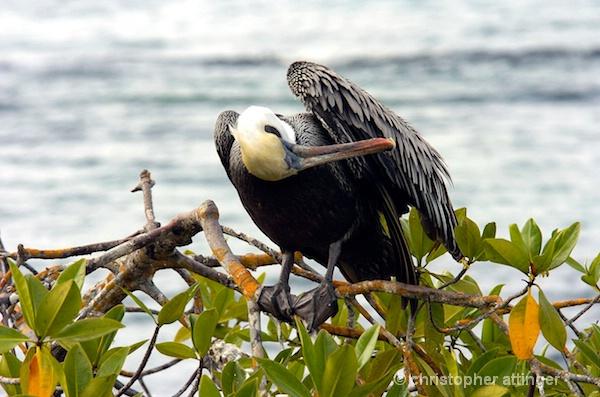 _DSC0010: Brown pelican pruning - ID: 7685864 © Chris Attinger