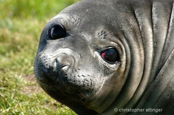 elephant seal pup - ID: 7685870 © Chris Attinger
