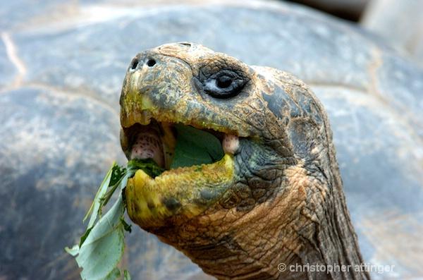 _DSC0077: giant tortoise eating - ID: 7685873 © Chris Attinger