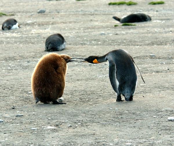 king penguin and oakum boy - ID: 7685877 © Chris Attinger