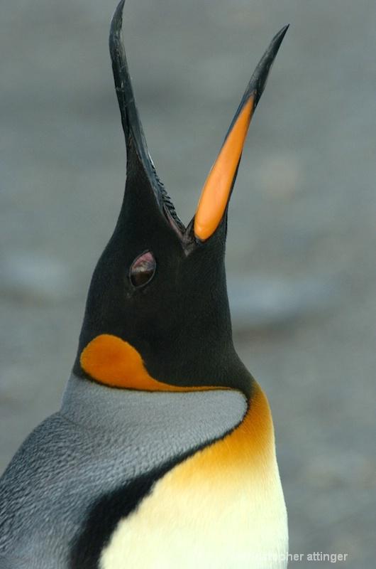 King penguin calling - ID: 7685883 © Chris Attinger