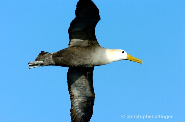 _DSC0258 waved albatross flying - ID: 7685892 © Chris Attinger