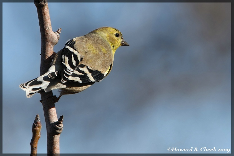 Morning Goldfinch