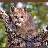 © Edward H. Mertz PhotoID# 7703117: Juvenile Mountain Lion