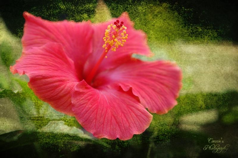 Hibiscus Memories
