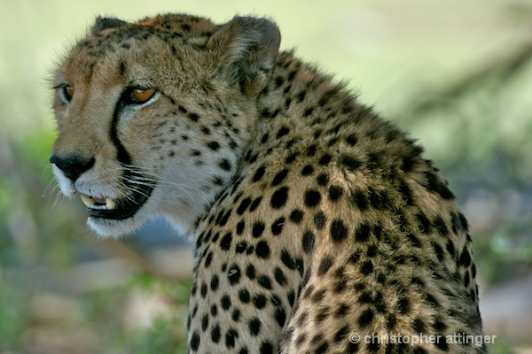 _BOB0008 cheetah head - ID: 7705506 © Chris Attinger