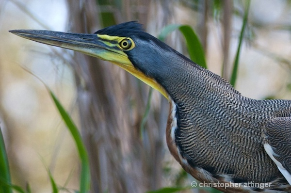 DSC_0828 Bare throated tiger heron - ID: 7705561 © Chris Attinger