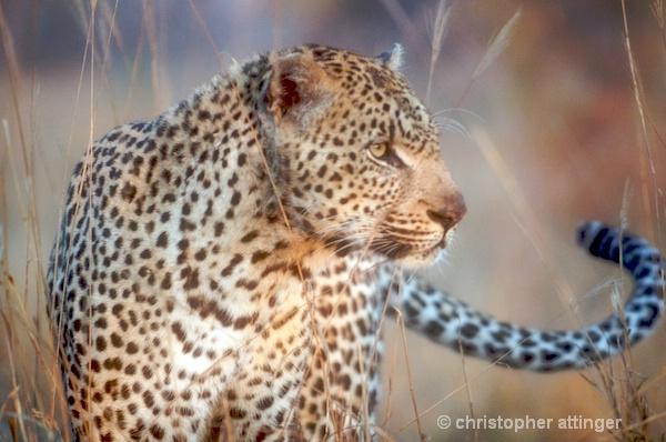 DSC_2792 - Leopard at dawn - ID: 7705569 © Chris Attinger