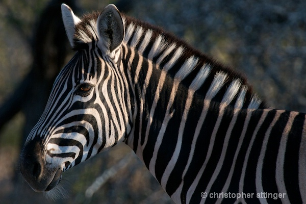 DSC_3565 - Zebra head - ID: 7705576 © Chris Attinger