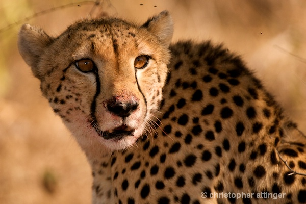 DSC_4200 - Cheetah mother - ID: 7705582 © Chris Attinger
