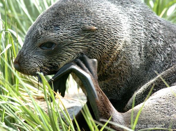 DSC_0008 Fur seal pup scratching self - ID: 7705586 © Chris Attinger