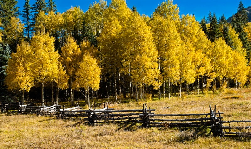 Aspens & Fence Row - ID: 7709393 © William G. Dunlalp