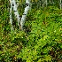© William G. Dunlalp PhotoID# 7709500: Aspens & Ferns