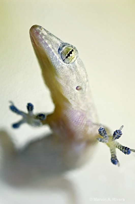 The Gecko on my Window II