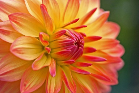 Orange and Red Dahlia