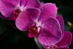 Orchid Spectacula...