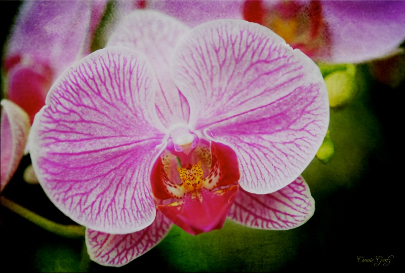 Connie's Orchid
