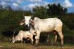 Brahma Cows
