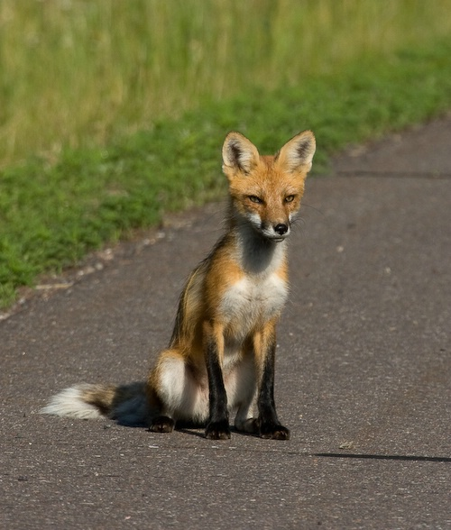 Red Fox - ID: 7752921 © Denise Dupras