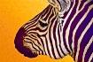 Zebra... Recreate...