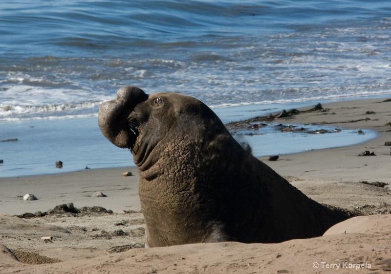 Elephant Seal   Año Nuevo State Reserve - ID: 7756602 © Terry Korpela