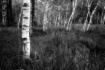 Birches in B&W
