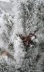 frosty pine 001ad...