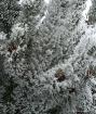Cactus Pine