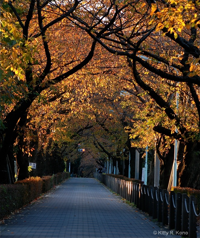 Cherry Trees in Fall - Aoyama Cemetery - ID: 7761207 © Kitty R. Kono