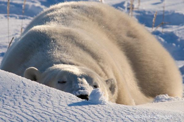 DSC_4855 Large polar bear sleeping - ID: 7764026 © Chris Attinger