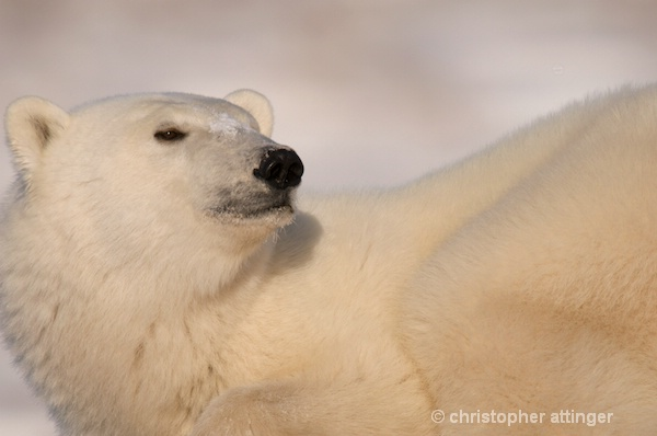 DSC_7216 Four year old male polar bear - ID: 7764028 © Chris Attinger