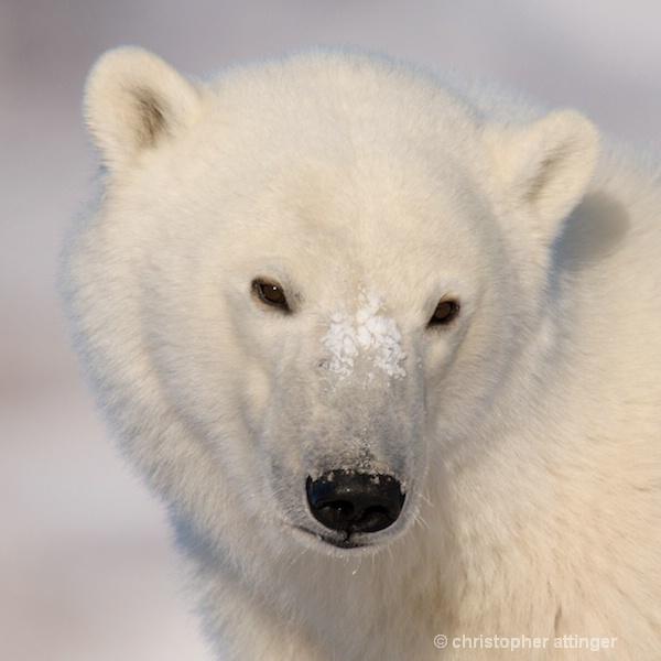 DSC_7222 Four year old male polar bear - ID: 7764030 © Chris Attinger