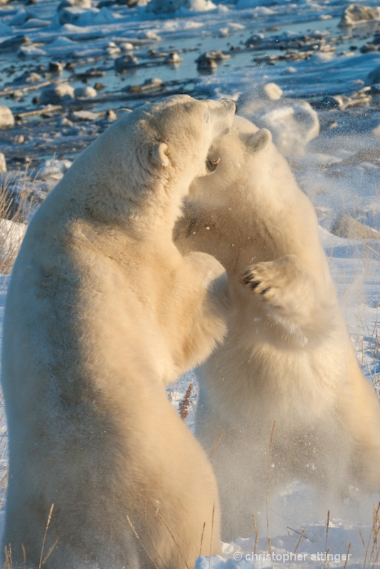 DSC_7577 Two polar bears wrestling - ID: 7764031 © Chris Attinger