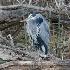 © Terry Korpela PhotoID# 7767294: Great Blue Heron