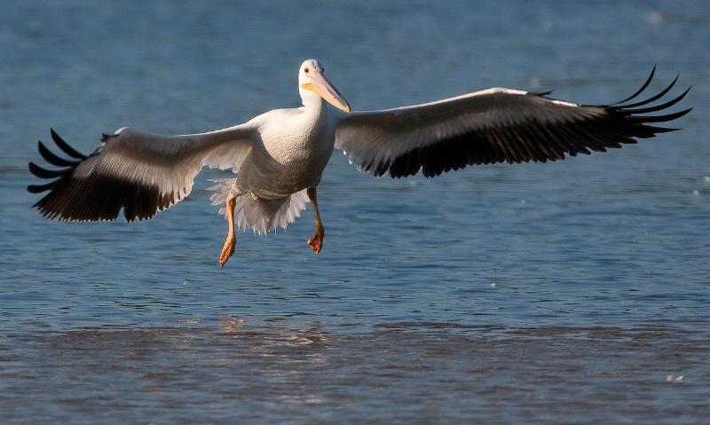 American White Pelican - ID: 7775330 © Michael Wehrman