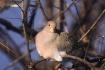 good morning dove