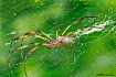 Palm Spider