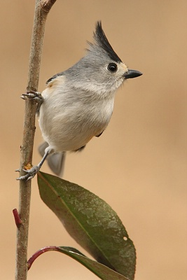 Titmouse in the Vertical