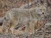 Chatfield Coyote