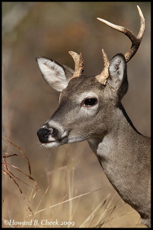 Texas Whitetail Buck