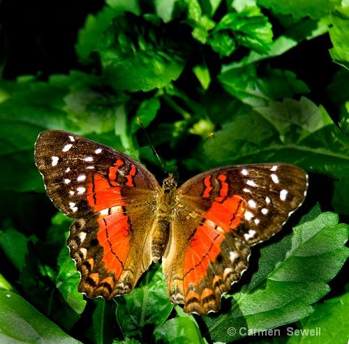 Orange Butterfly - ID: 7800665 © Carmen B. Sewell