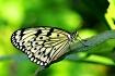 Paper Kite Butter...