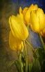 Katie's Tulip...