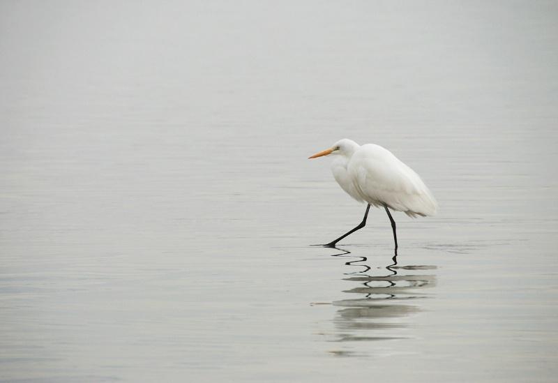 Egret Alone