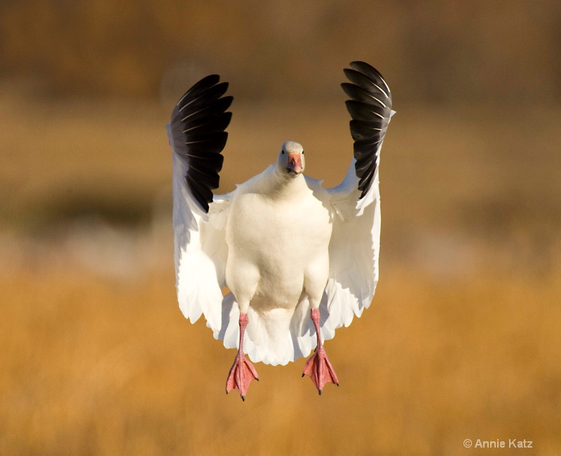 snow goose - ID: 7805274 © Annie Katz